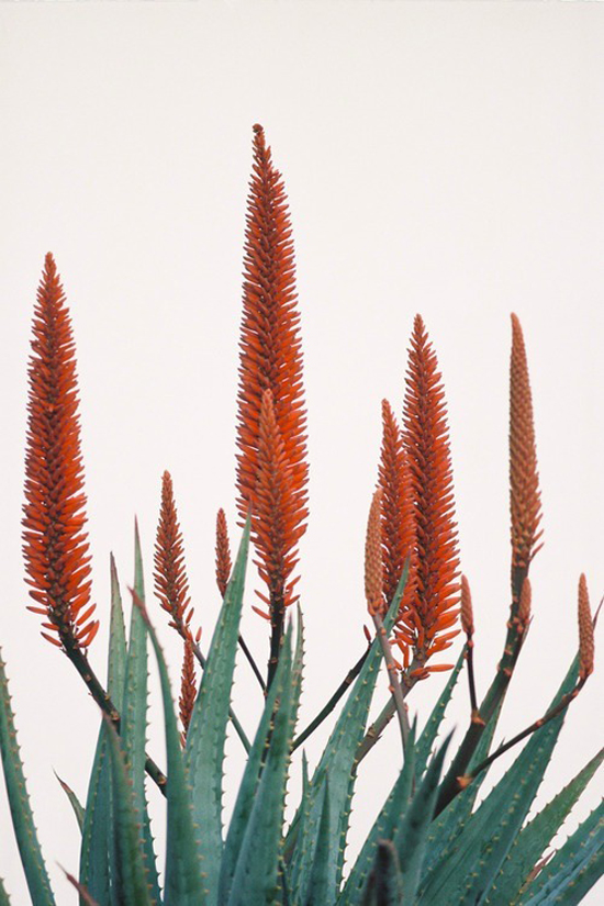 aloes-550